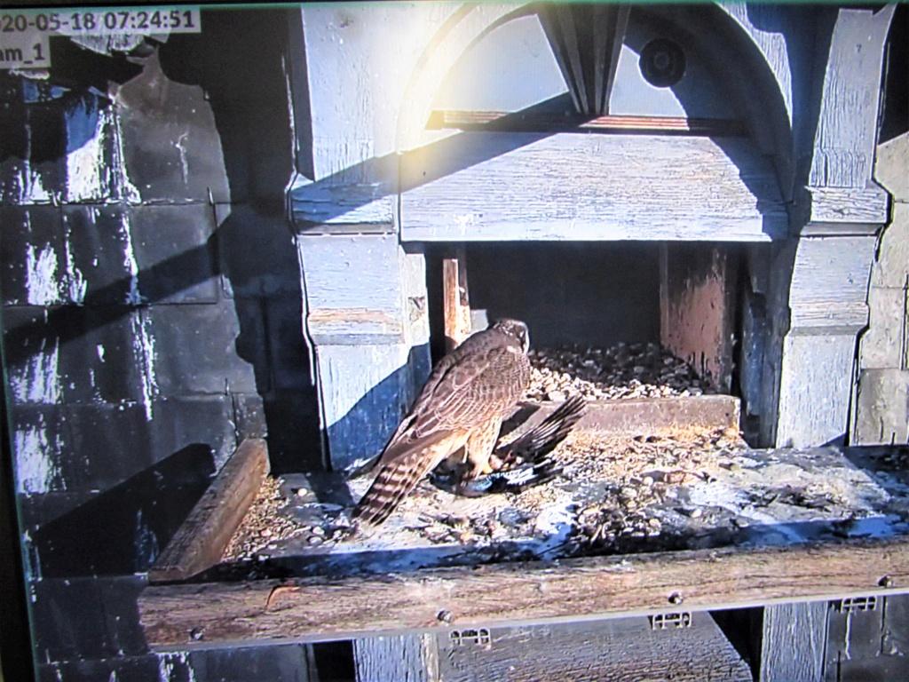Les faucons pèlerins d'Illkirch-Graffenstaden. Flashblack en Valentine. - Pagina 17 Img_3818