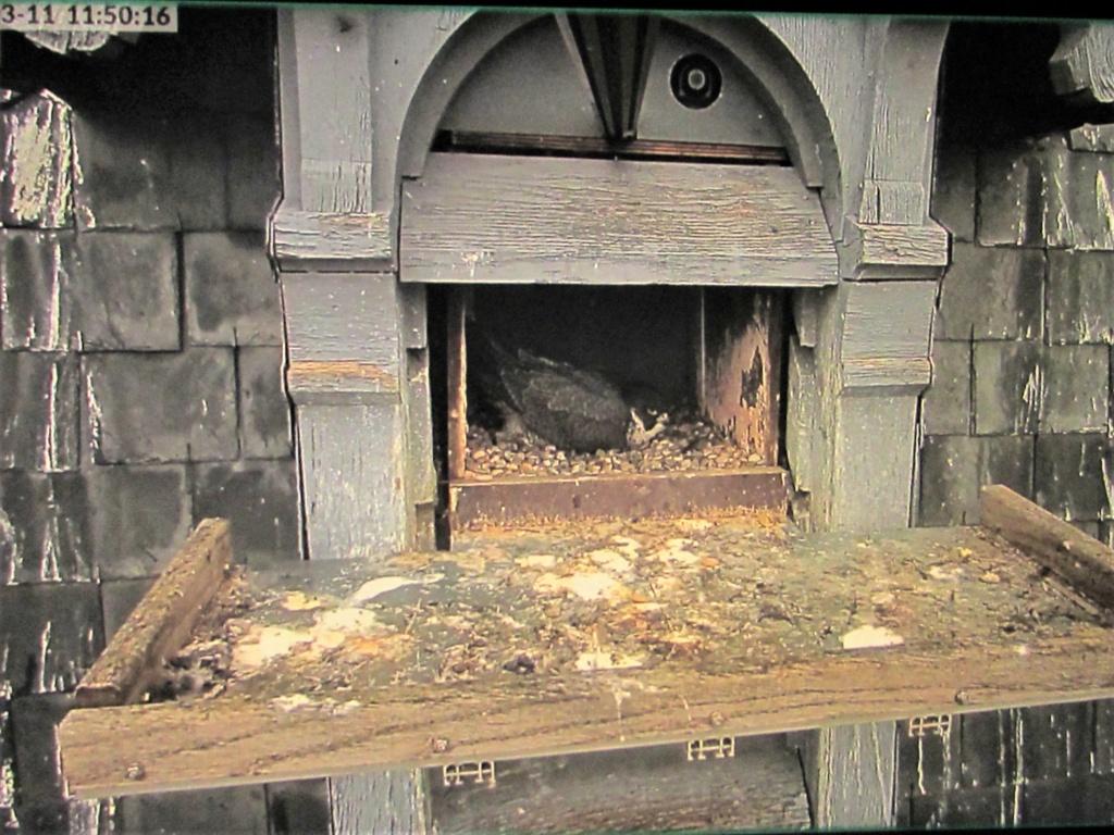 Les faucons pèlerins d'Illkirch-Graffenstaden. Lucky en Valentine. - Pagina 4 Img_9413