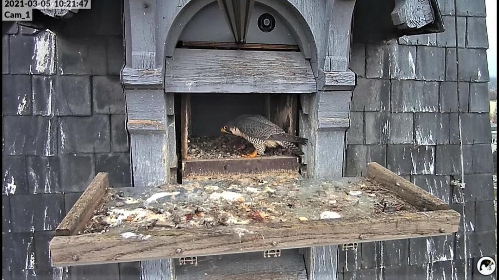 Les faucons pèlerins d'Illkirch-Graffenstaden. Lucky en Valentine. - Pagina 4 Lucky_10