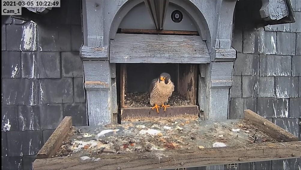 Les faucons pèlerins d'Illkirch-Graffenstaden. Lucky en Valentine. - Pagina 4 Lucky_11