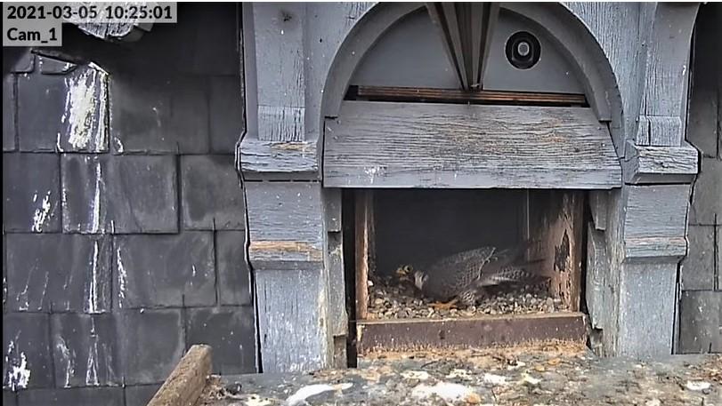Les faucons pèlerins d'Illkirch-Graffenstaden. Lucky en Valentine. - Pagina 4 Lucky_13
