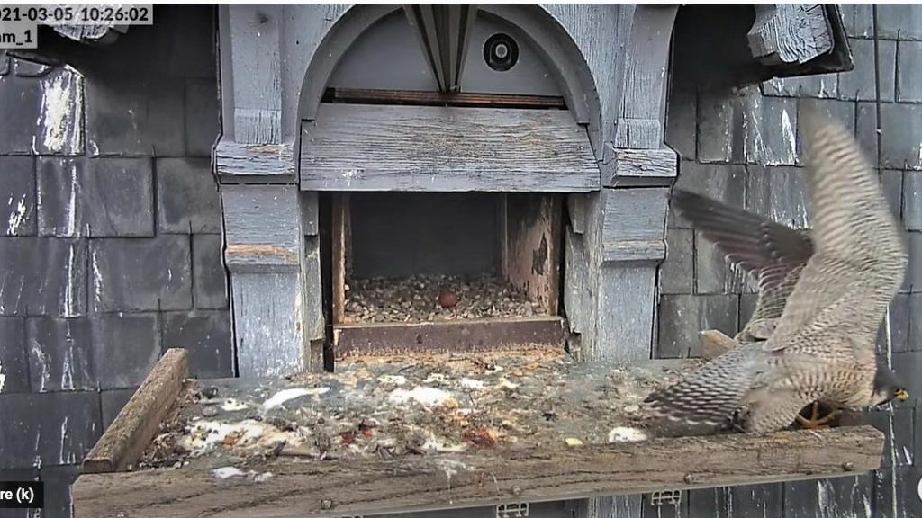 Les faucons pèlerins d'Illkirch-Graffenstaden. Lucky en Valentine. - Pagina 4 Lucky_14