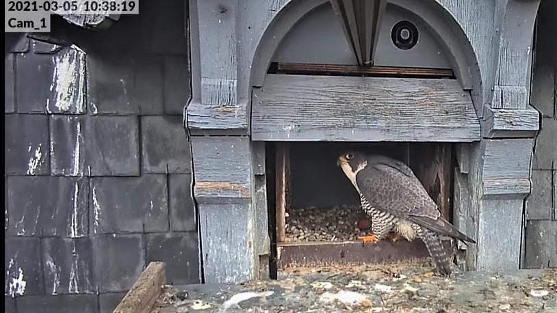 Les faucons pèlerins d'Illkirch-Graffenstaden. Lucky en Valentine. - Pagina 4 Val_te10