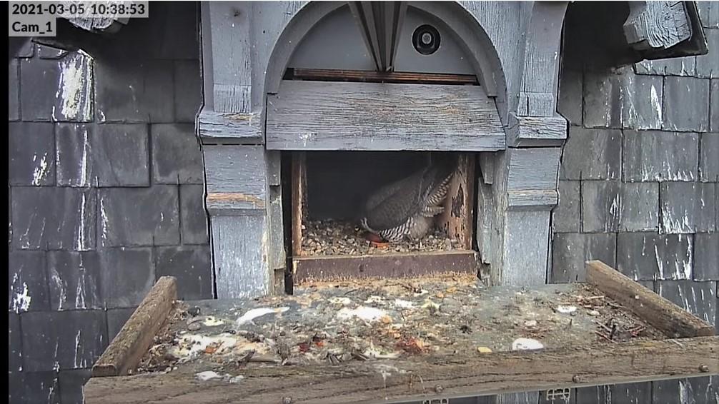 Les faucons pèlerins d'Illkirch-Graffenstaden. Lucky en Valentine. - Pagina 4 Val_te11