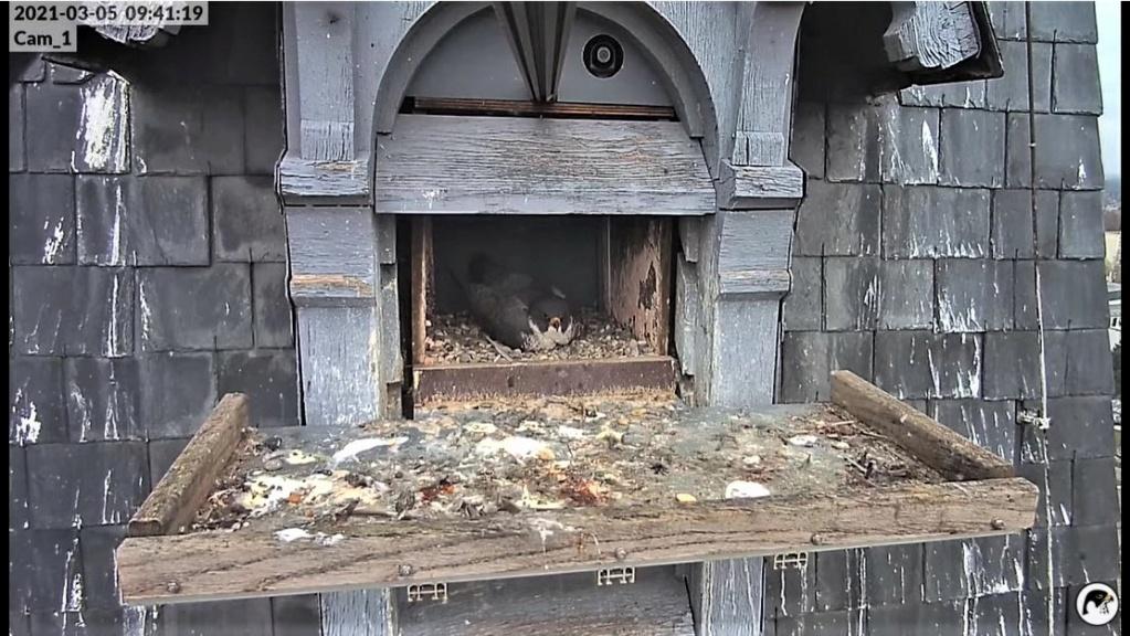 Les faucons pèlerins d'Illkirch-Graffenstaden. Lucky en Valentine. - Pagina 3 Valrni10