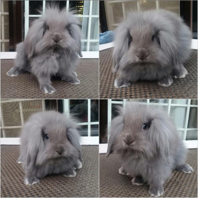 Lionlop Rabbits in Taytay - test post 2017-010