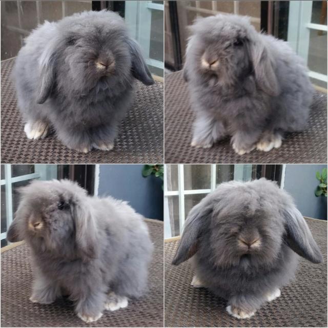 Lionlop Rabbits in Taytay - test post 24167310