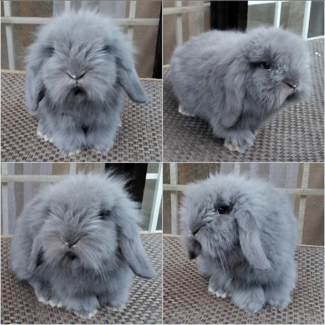 Lionlop Rabbits in Taytay - test post 24474910