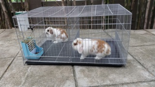 Looking for Lion Lop or English Angora 60923010
