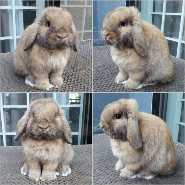 Upcoming Holland Lop Junior Buck 63495110