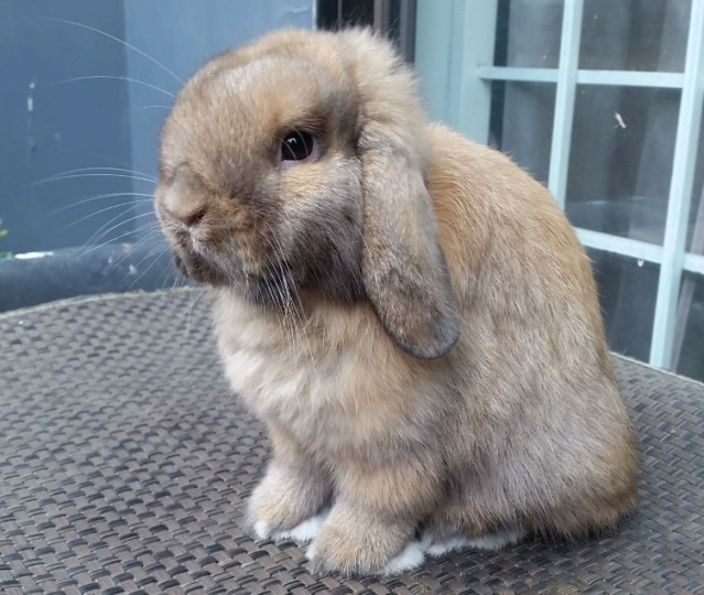 Upcoming Holland Lop Junior Buck Th110