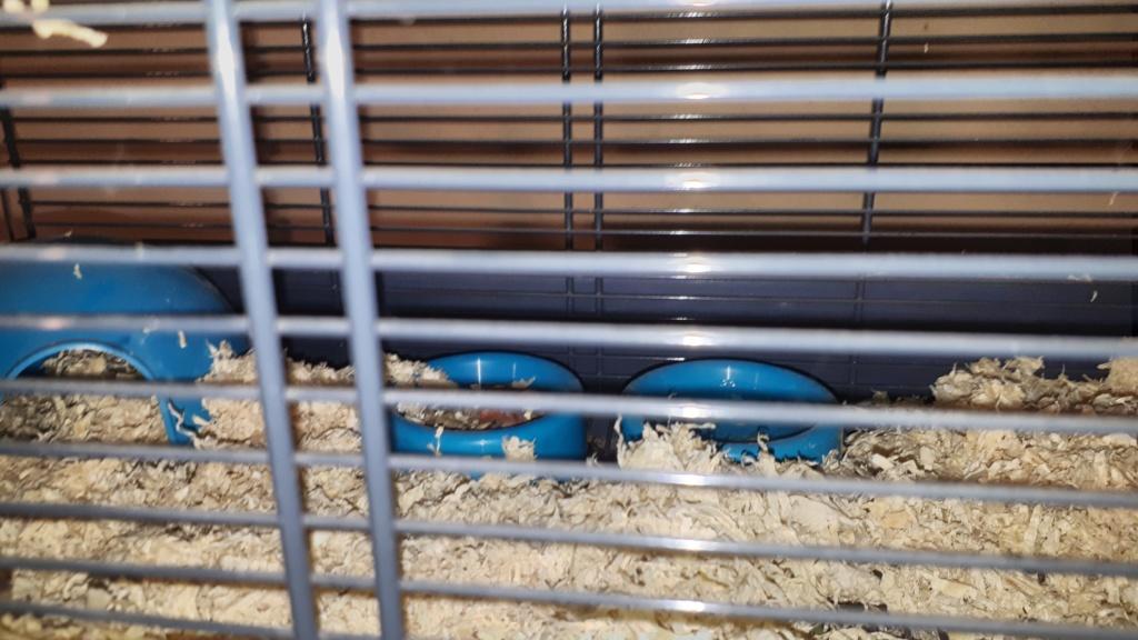 Sauvetage d'un jeune rat des griffes de ma chatte Cage_e10
