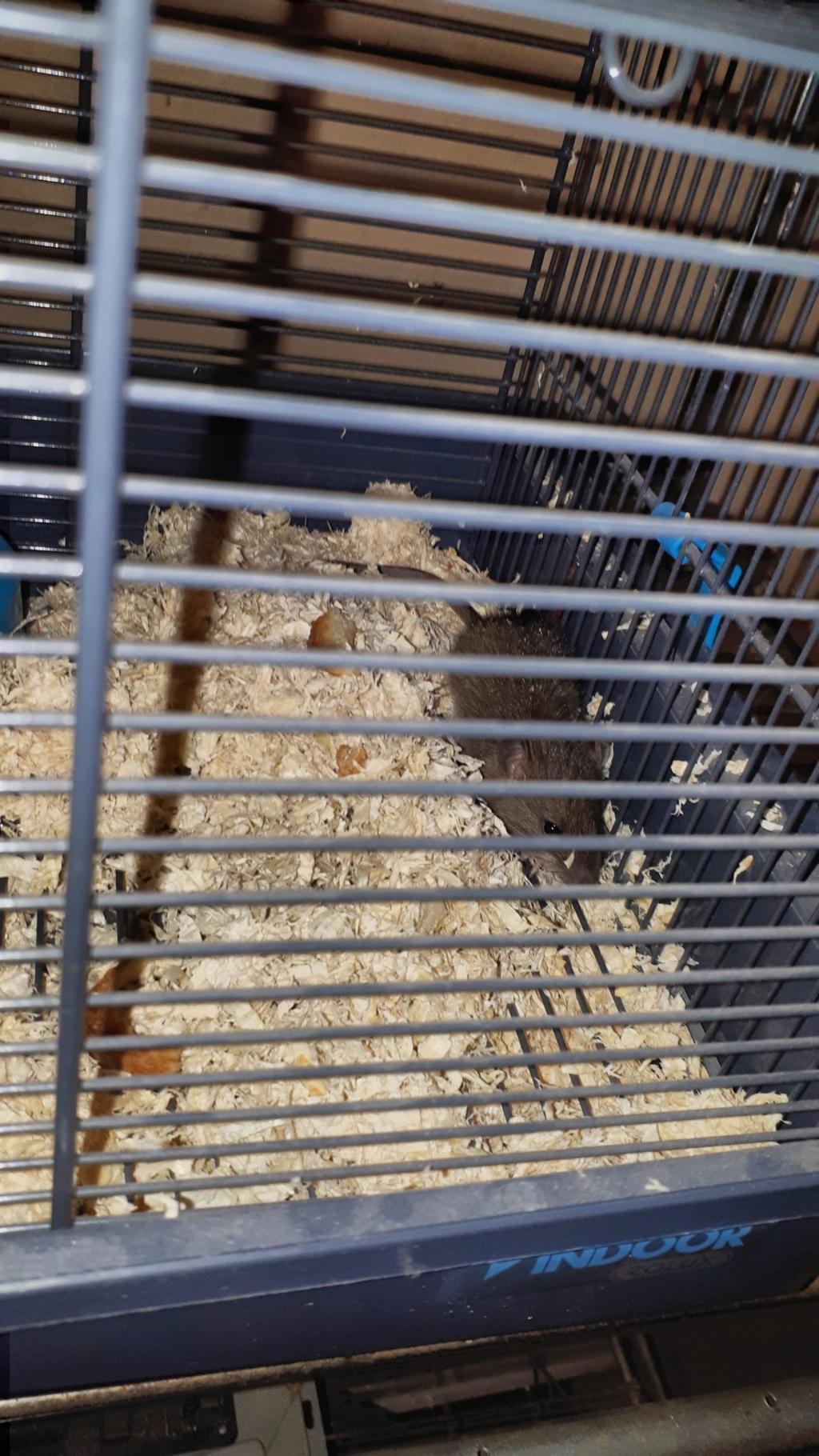 Sauvetage d'un jeune rat des griffes de ma chatte Gaspar10