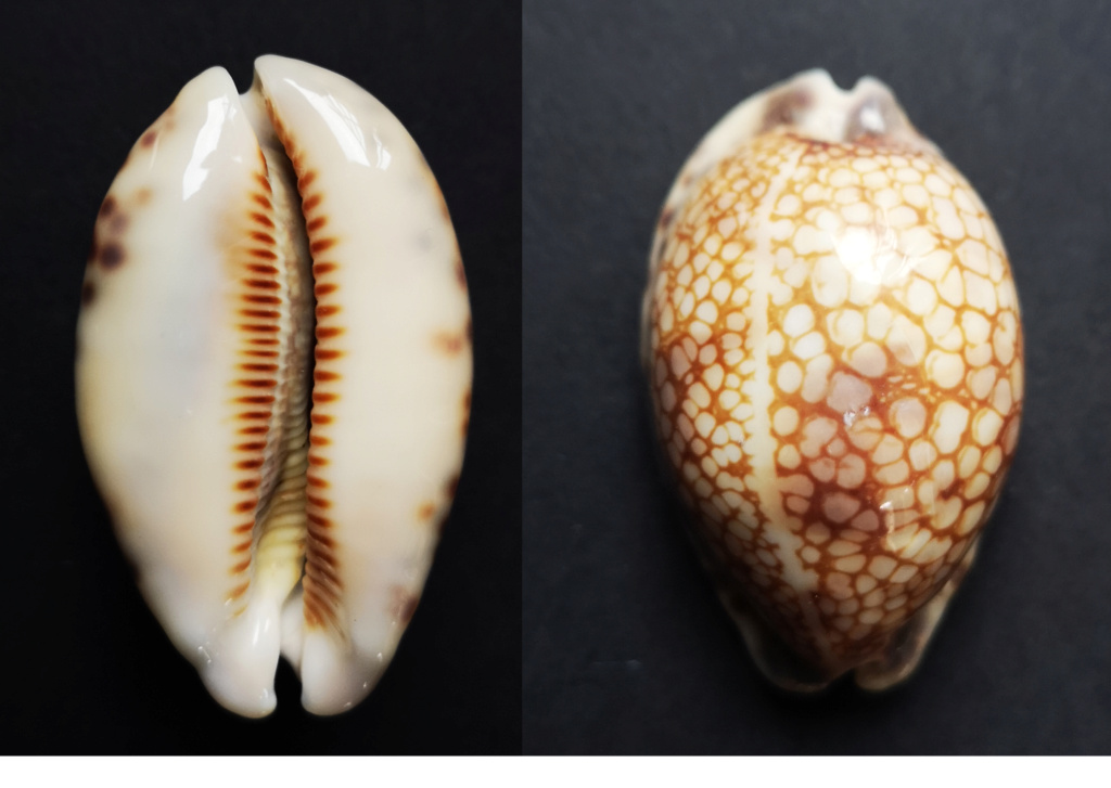 Mauritia_histrio_(Gmelin_1791) Cyprae10