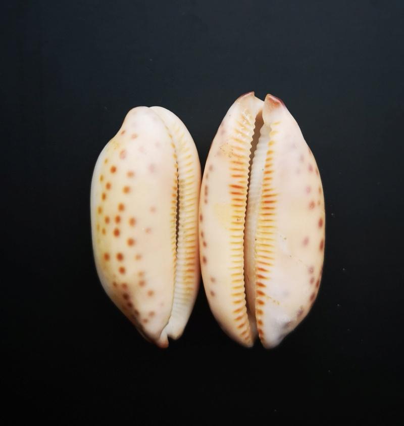 Mauritia Scurra roulée  Img_2012
