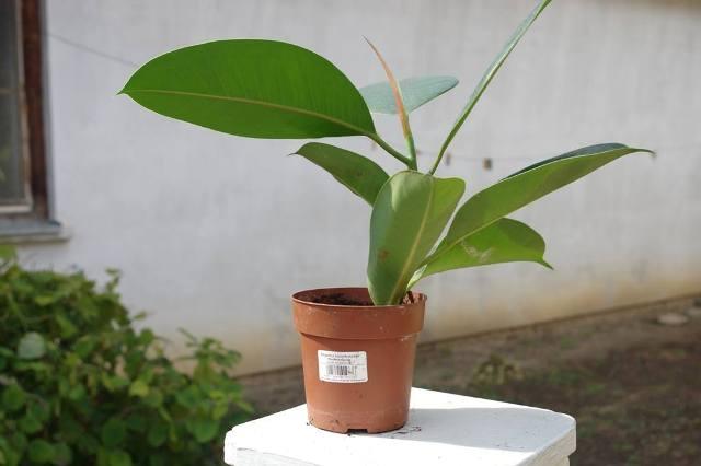 Szobavirágaim Ficus-10