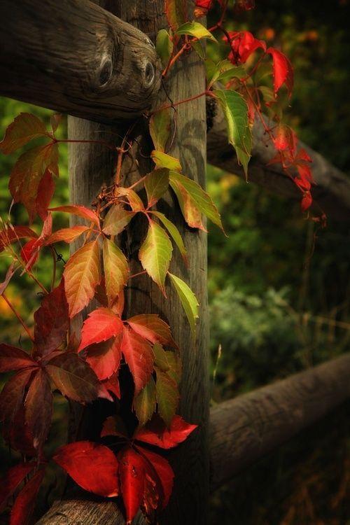 Images d'automne  - Page 5 Gunera10