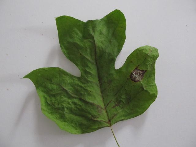 J,ai beau faire une recherche ( Liriodendron tulipifera) Img_3910