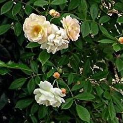 la taille des rosiers Rosier10