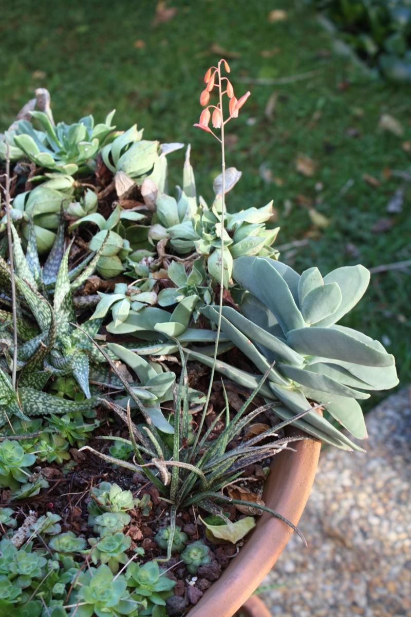 Aloe bellatula en fleurs Aloe_b10