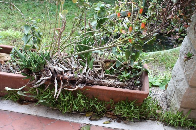 Aloe mitriformis ( perfoliata ) déjà bien vieux Aloe_m10