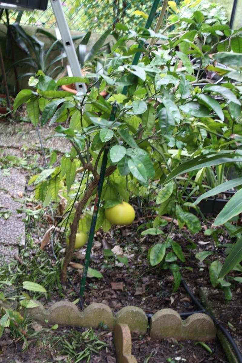 Pamplemousse de Tahiti Citrus12