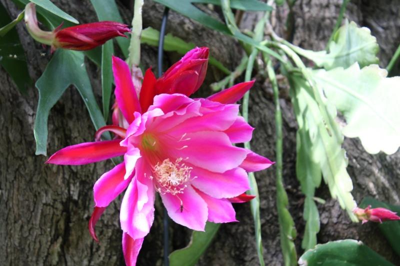 Epiphyllum hybride rose, ma merveille dumoment Epiphy14