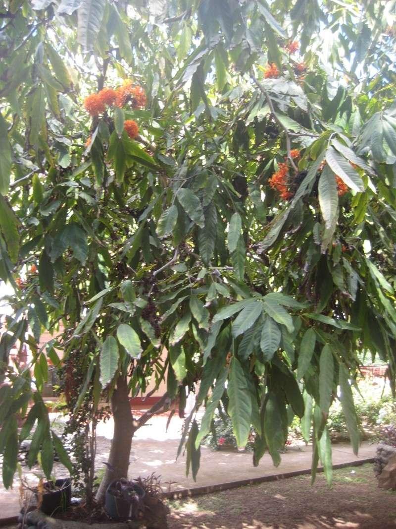 Plante des Marquises  = Saraca indica Img_2011