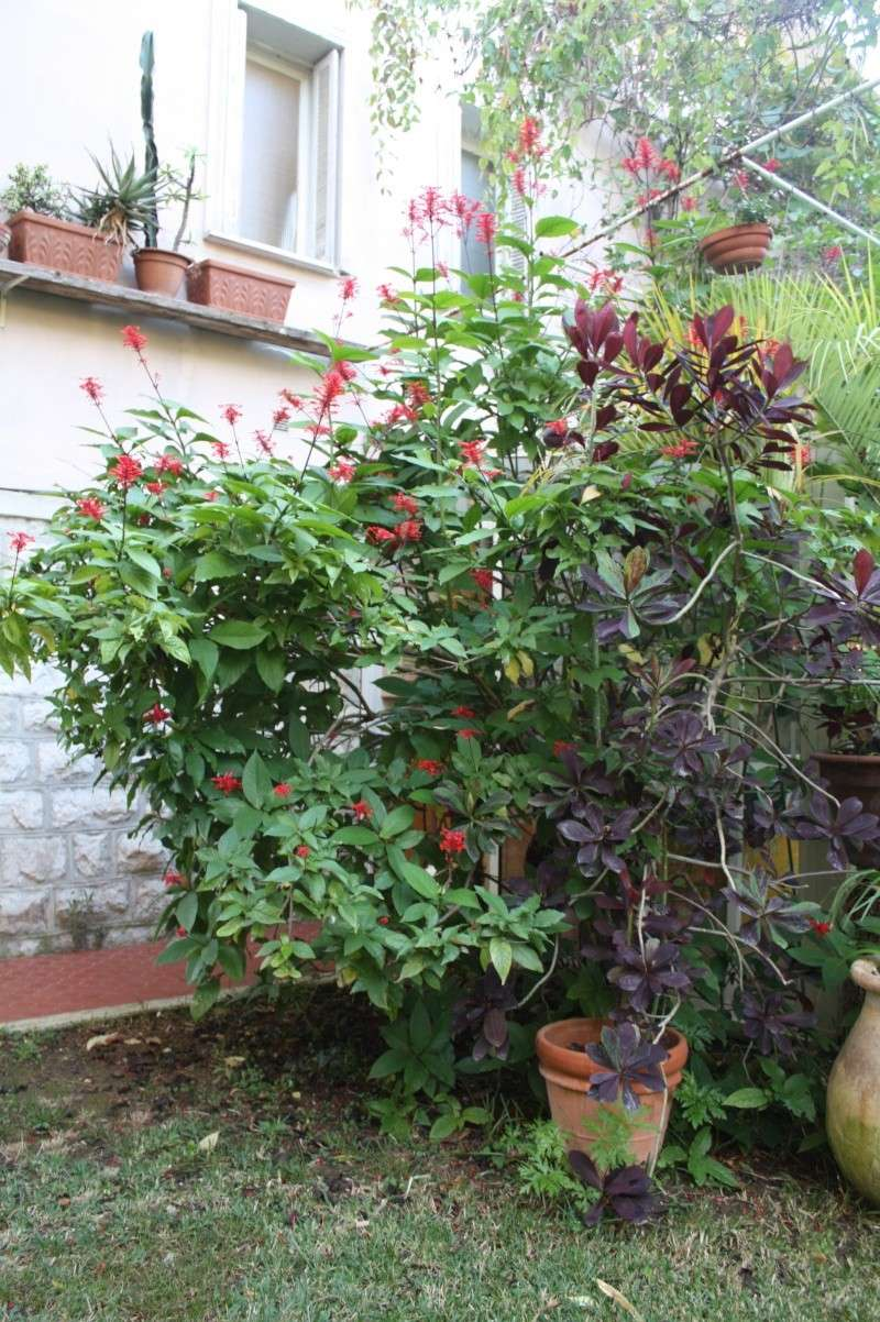 Odontonema strictum, chaque année, elle décore l'automne dans mon jardin Odonto10