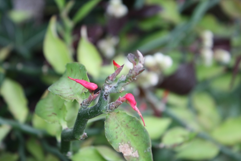 La discrète floraison d'Euphorbia tithymaloides Pedila10