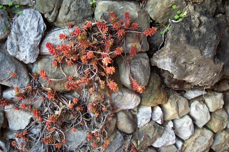 Pour le plaisir, une coupe à végétation hivernale Sedum_10