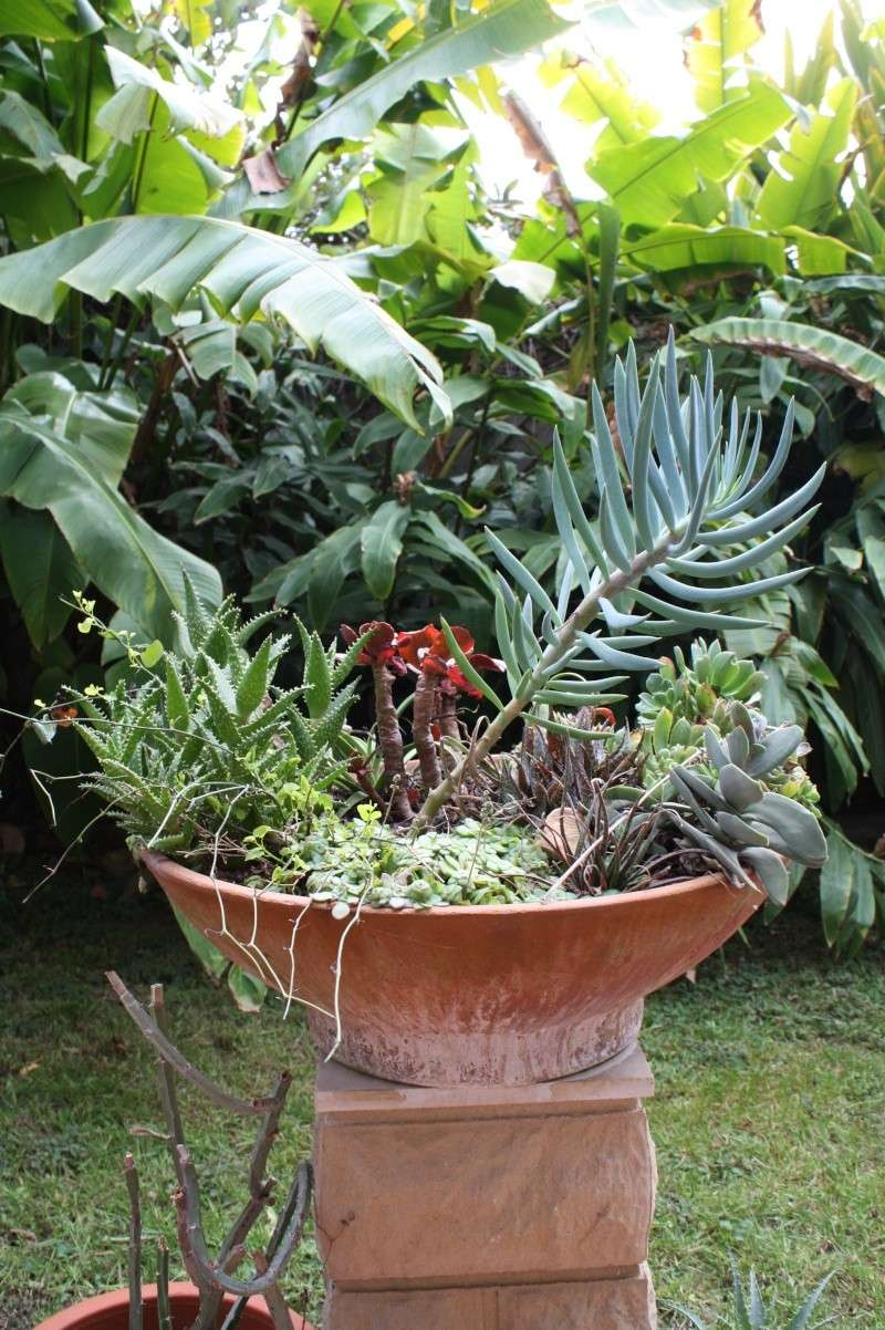 Ma terrasse aux succulentes Seneci21