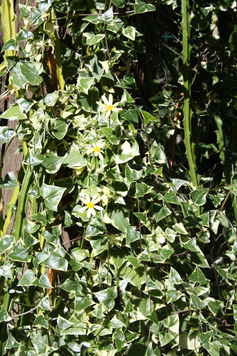 Senecio macroglossus : grimpante et/ou succulente ! Seneci22