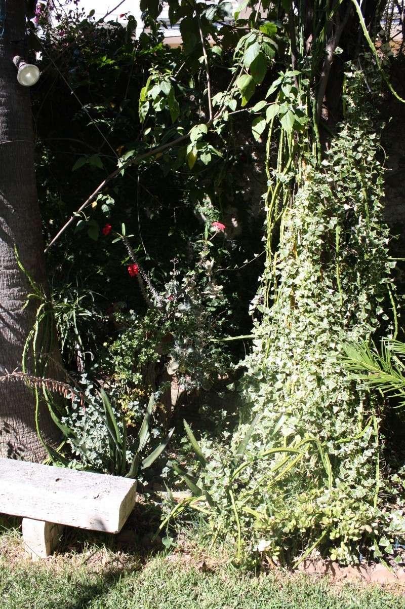 Senecio macroglossus : grimpante et/ou succulente ! Seneci23