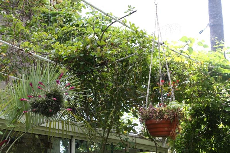 Tillandsia aeranthos , pour les paresseux Suspen10