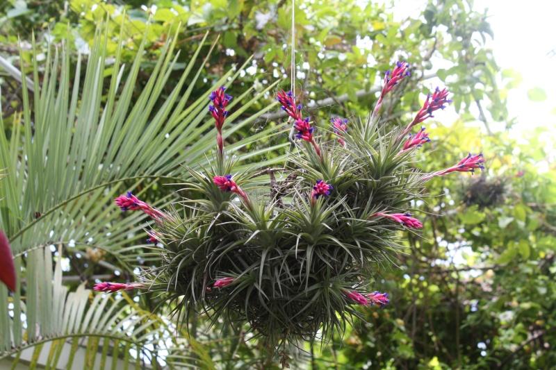 Tillandsia aeranthos , pour les paresseux Tillan13