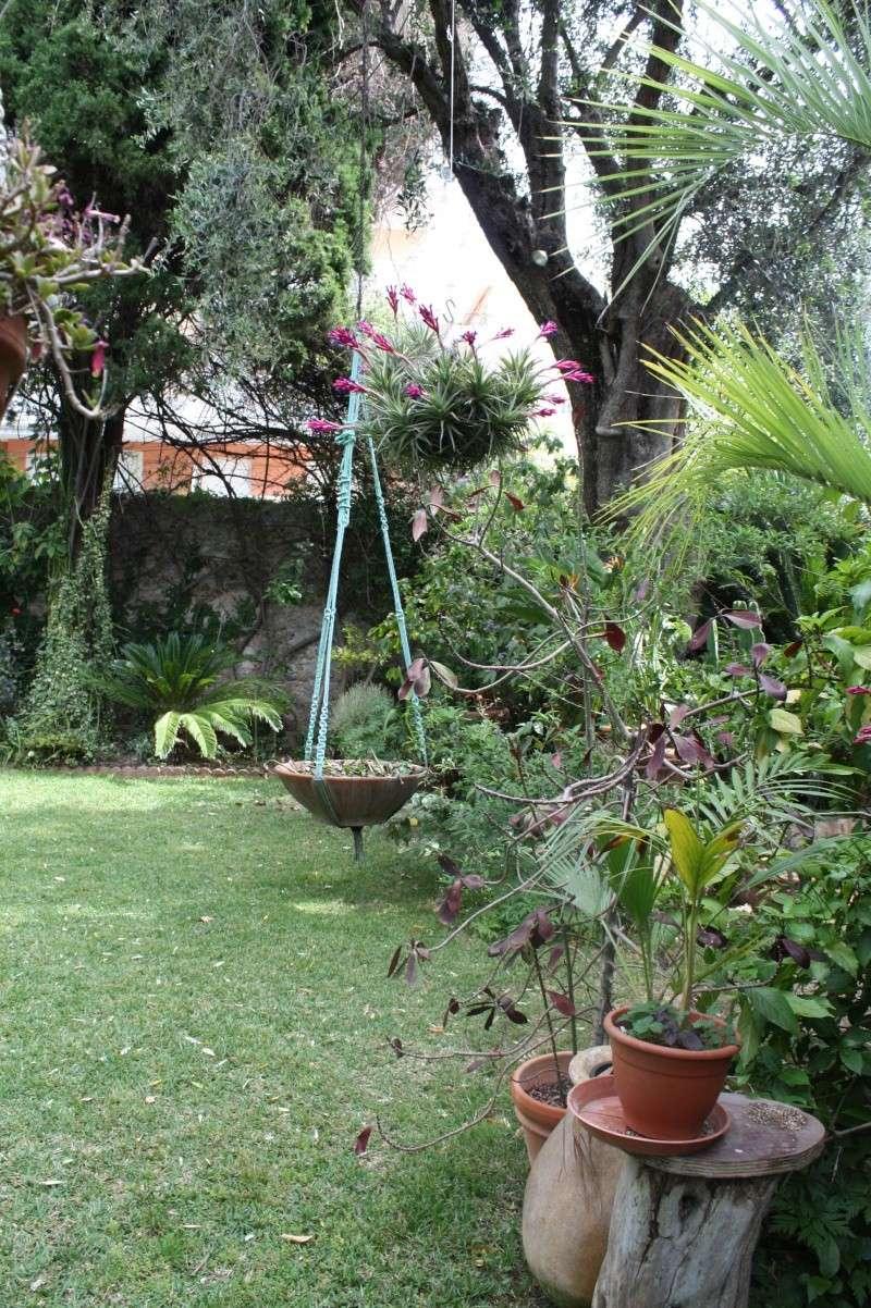 Tillandsia aeranthos , pour les paresseux Tillan14