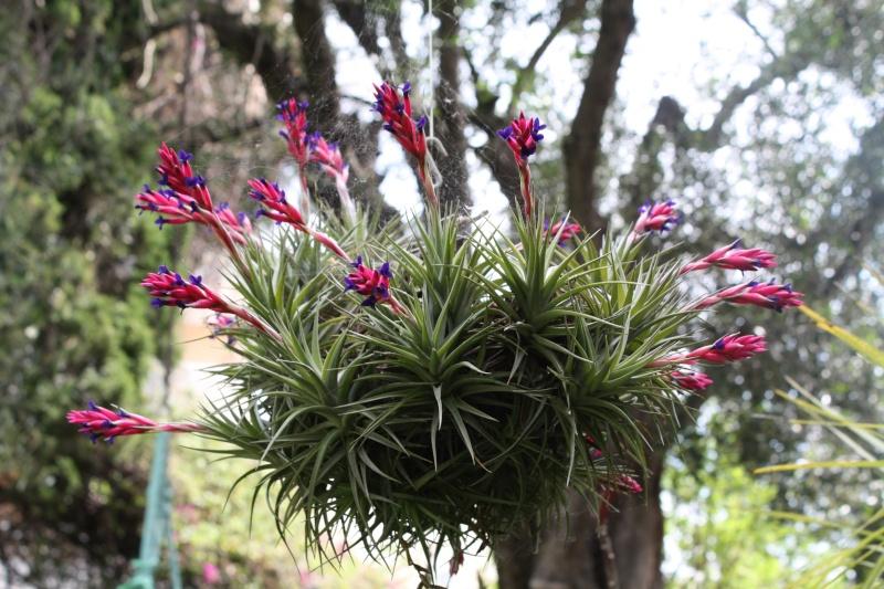 Tillandsia aeranthos , pour les paresseux Tillan15