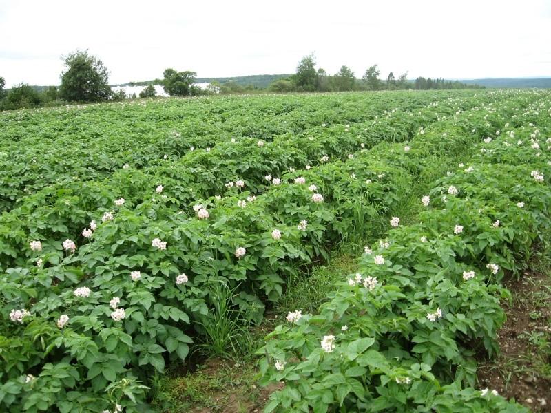 Mon champ de patates Img_5910