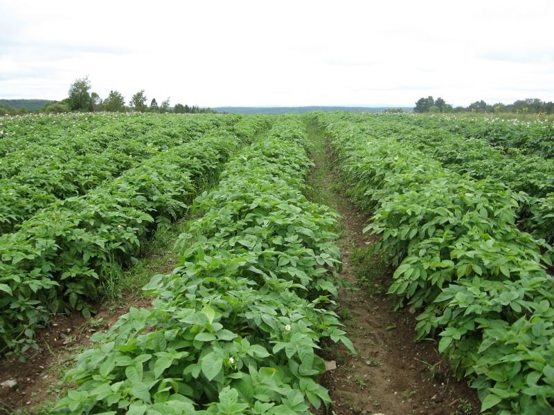 Mon champ de patates Img_5911