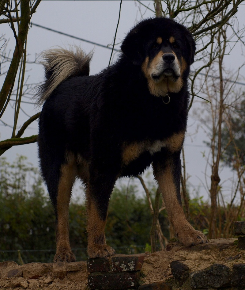 Chiots Dogues du Tibet _c079310