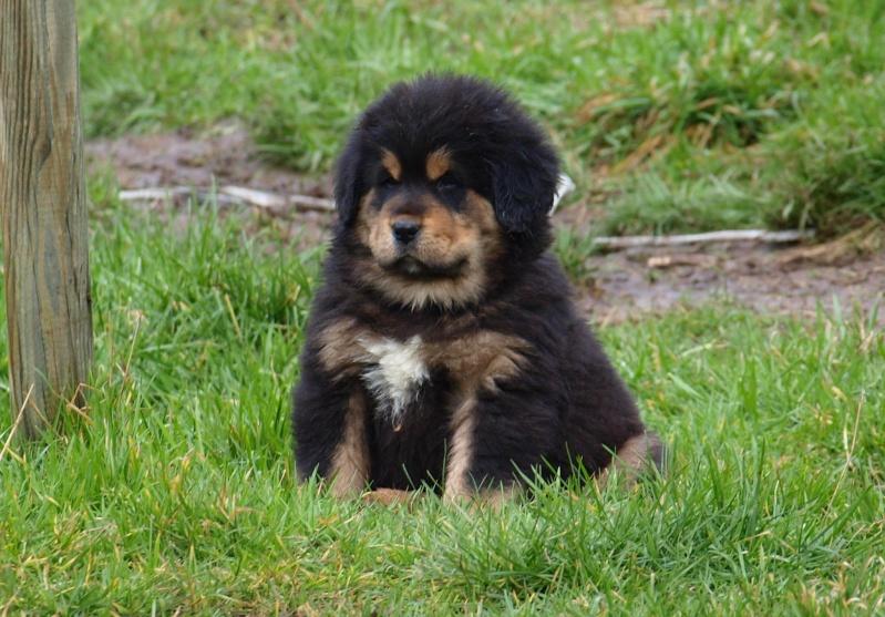 Chiots Dogues du Tibet P2130110