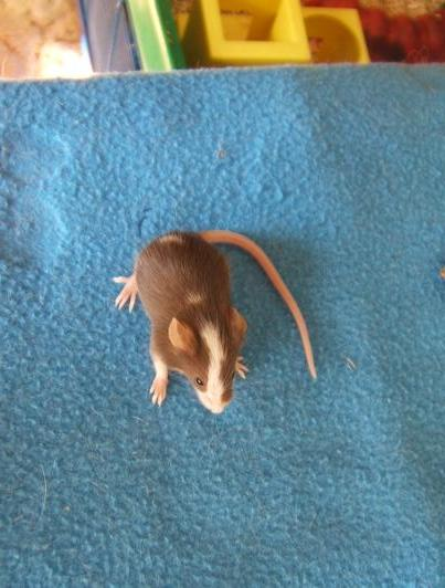 Plein de petites souris à l'adoption ! Les_ma10