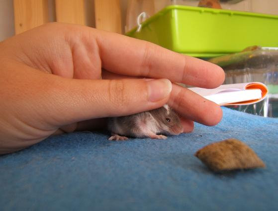 Plein de petites souris à l'adoption ! Les_ma13