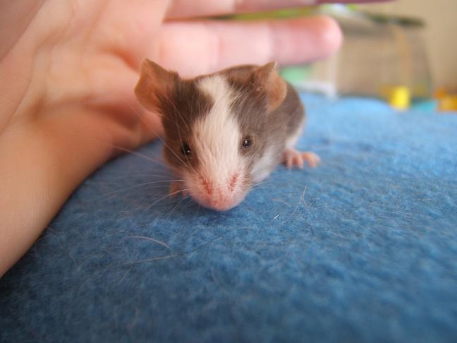 Plein de petites souris à l'adoption ! Male_210