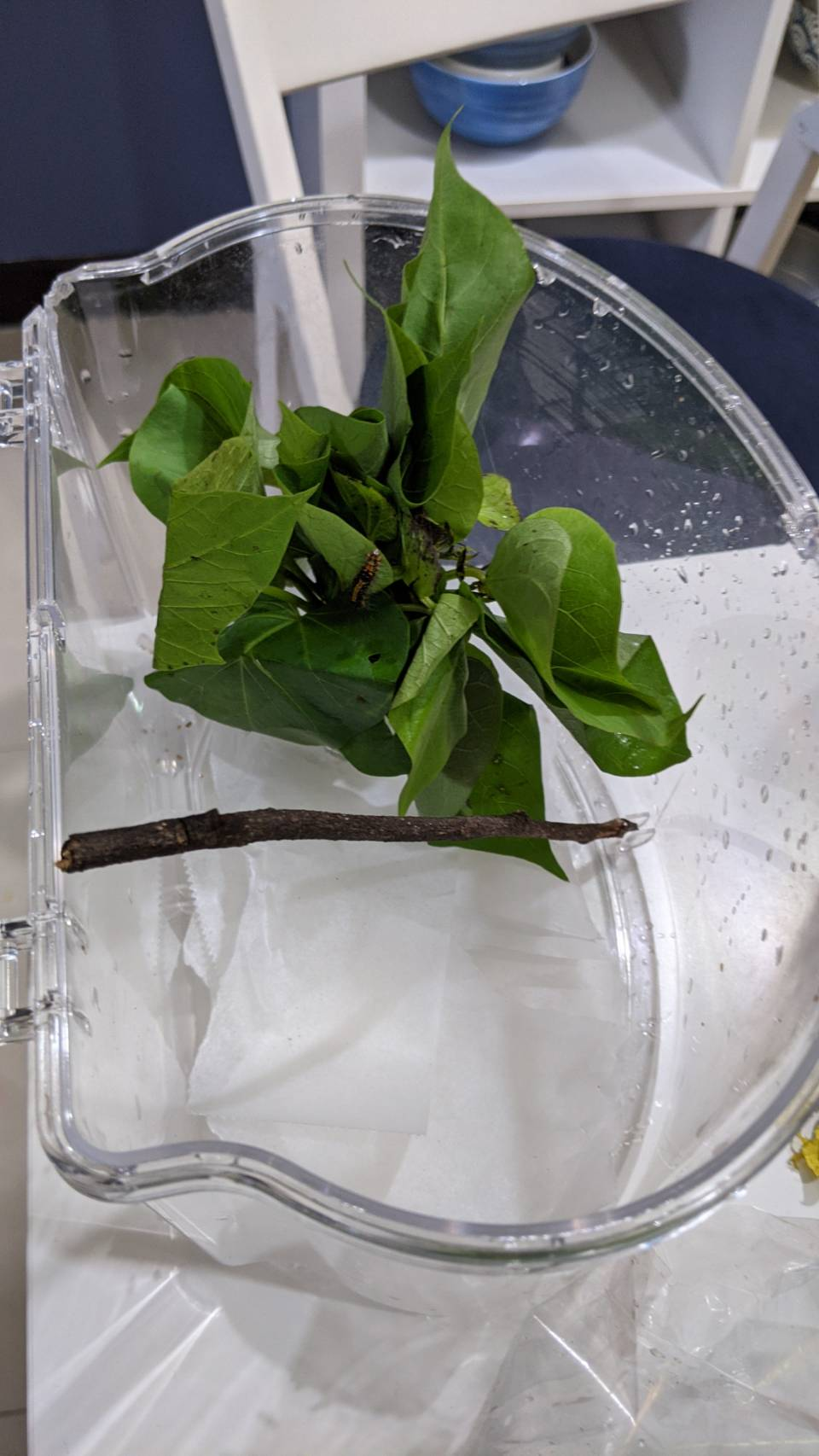 Identification d'une chenille à Taïwan 16109010