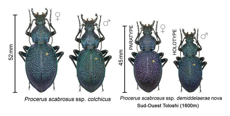Procerus scabrosus ssp.demiddelaerae nova Compar10