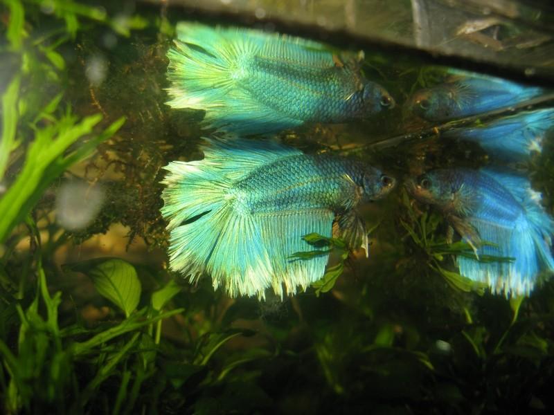 3 eme F5 lignée SM (copper/turquoise/papillon etc...) Male_f10