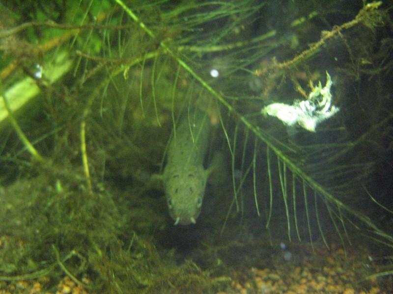 mes nouveaux dragons d'eau : polypterus senegalus Polyp_10