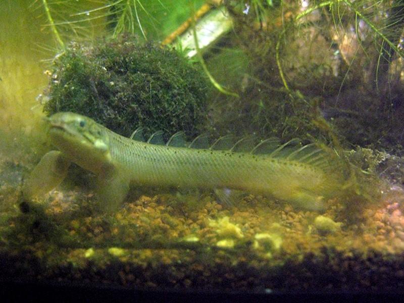 mes nouveaux dragons d'eau : polypterus senegalus Polyp_15